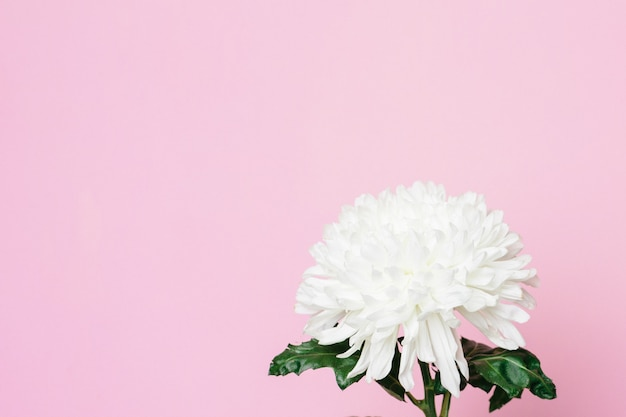Beautiful white flower on a pink surface