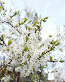 Beautiful white flowers apple tree garden
