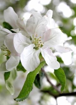 아름다운 하얀 꽃 사과 나무 정원