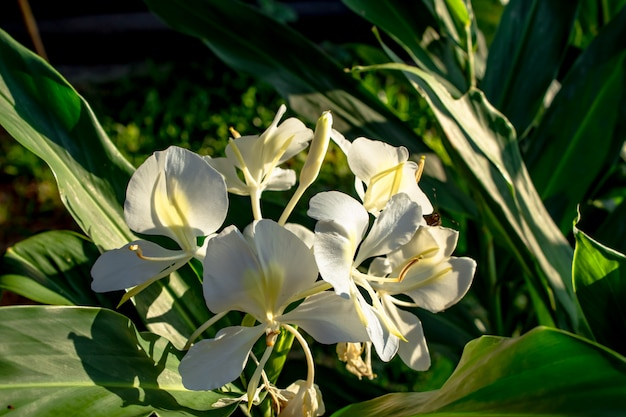 The beautiful white flowers background green leaves in the garden.