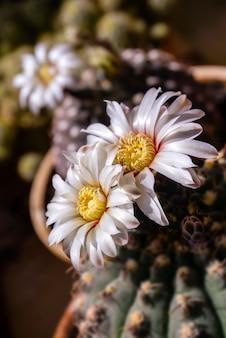 Красивые белые цветы цветущего кактуса gymnocalycium schroederianum на размытом фоне