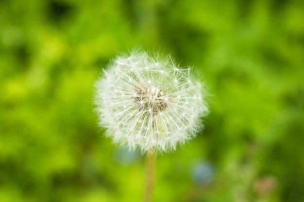 Beautiful white fluffy dandelion flower on nature
