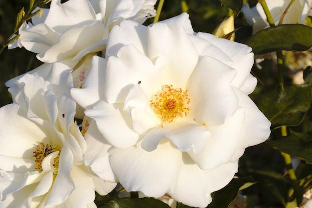Beautiful white garden rose close up photo, background