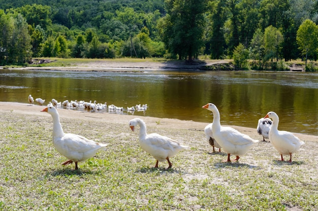 Beautiful white geese . a flock of birds on the river bank. domestic waterfowl. flock of birds returning home.