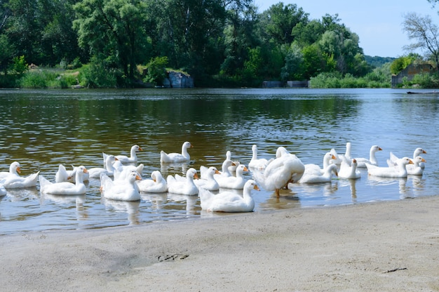 Beautiful white geese on a sunny day . a flock of birds rest on the river bank. domestic waterfowl.