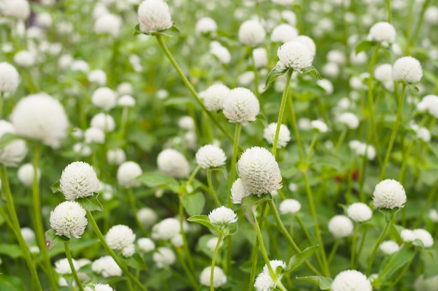 Beautiful white globe amaranth or bachelor button flower in garden  background