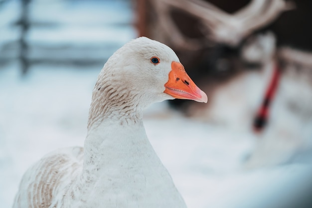 Beautiful white goose in the snow, home winter chores