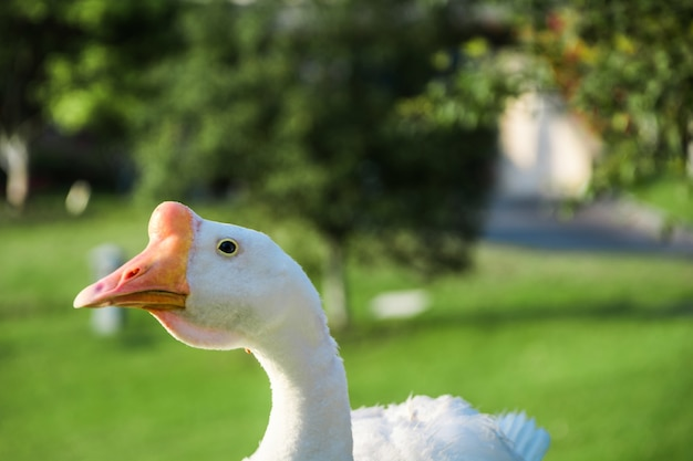 Beautiful white goose
