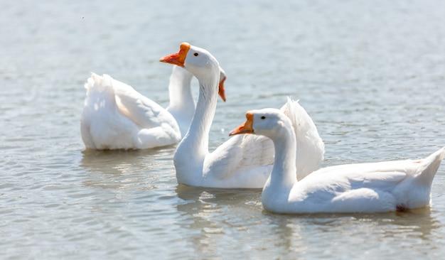 강에서 수영하는 아름 다운 화이트 Gooses 프리미엄 사진
