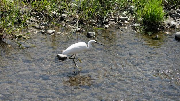 Beautiful white heron fishing on a river in sochi, russia