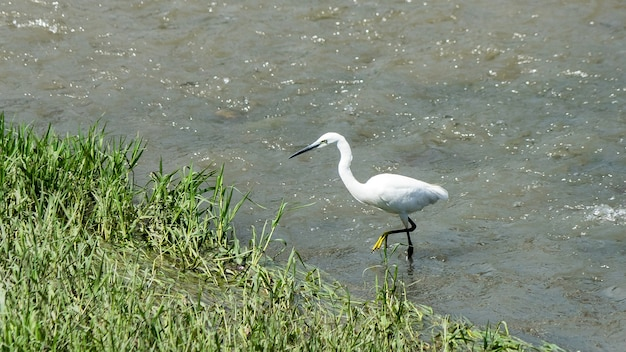 Beautiful white heron fishing on a river in sochi