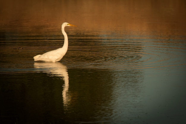 Beautiful white heron in the middle of a pond