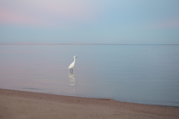 아름다운 흰색 헤론은 분홍색 일몰의 선택적 초점과 반사에서 황금 해변에 서 있습니다