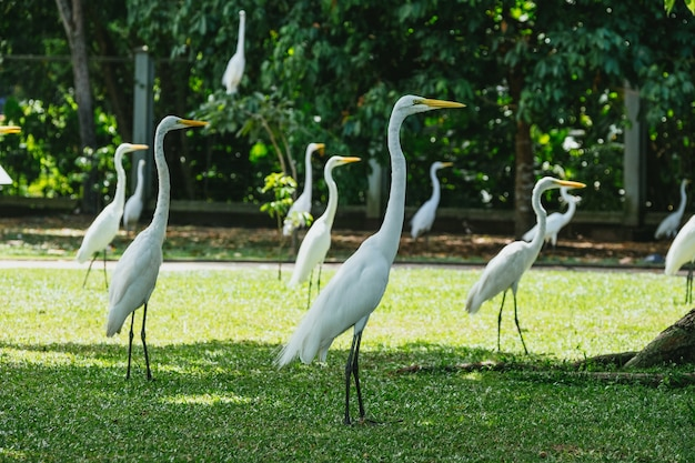 Beautiful white herons standing on the fresh green grass in brazil