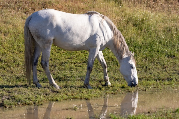 Beautiful white horse in the countyside