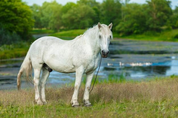 Красивая белая лошадь кормления в зеленом пастбище