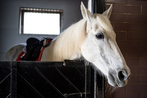 Beautiful white horse in a stall in the stable. equestrian club and riding classes.