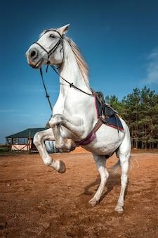 サドルのある美しい白い馬が自然の中で育ちます