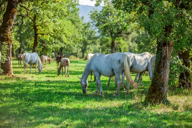 Beautiful white horses grazing in the lipica, national park in slovenia