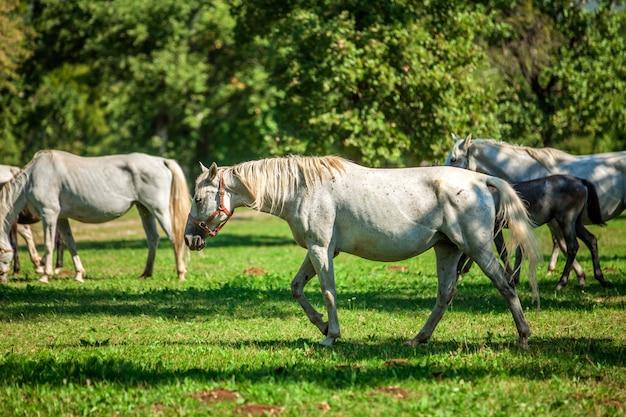 Bellissimi cavalli bianchi al pascolo a lipica, parco nazionale in slovenia