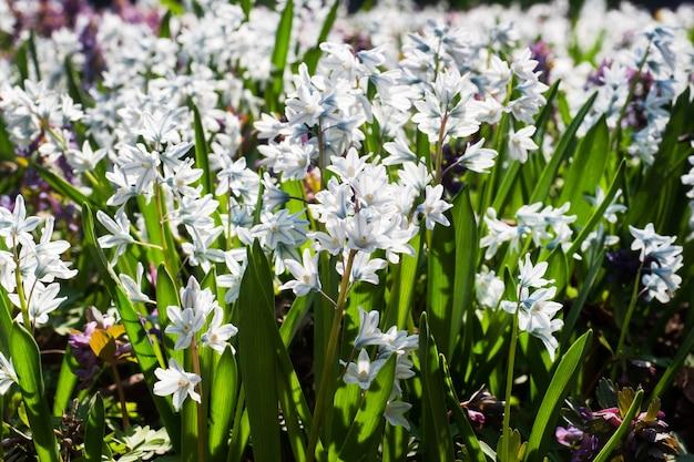 아름 다운 흰 히아신스 꽃 배경