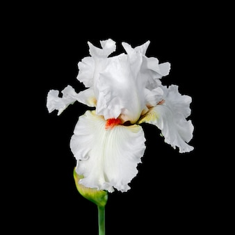 Beautiful white iris flower