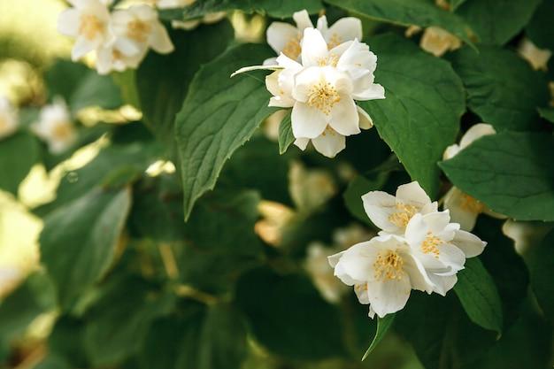 Красивые белые цветки жасмина цветут в весеннее время. стол с цветущим кустом жасмина. вдохновляющие природные цветочные весенние цветущие сад или парк. цветочный арт-дизайн. концепция ароматерапии.