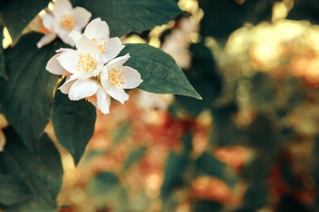 봄 시간에 아름다운 흰색 재스민 꽃 꽃