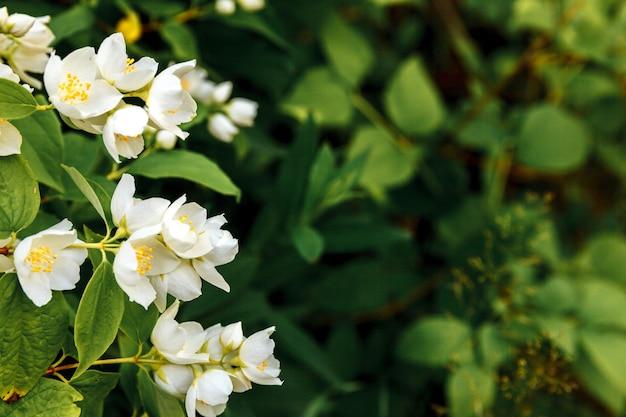 Красивые белые цветы жасмина в весеннее время