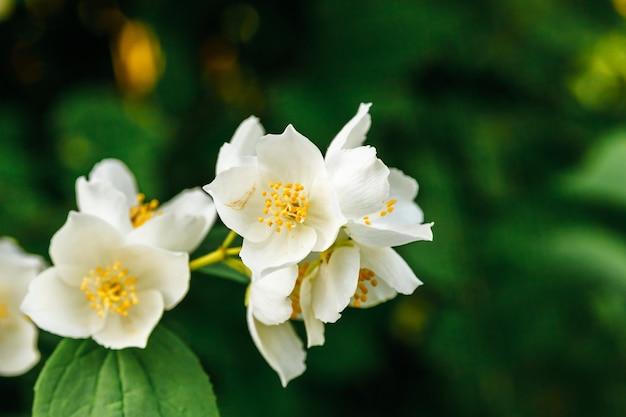 春の美しい白いジャスミンの花。