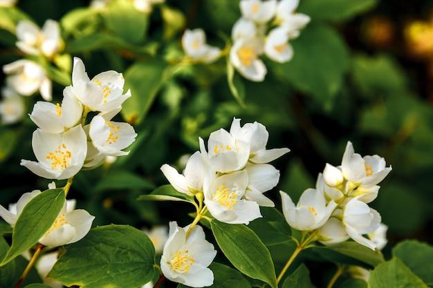 Красивые белые цветы жасмина в весенний период