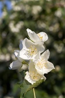 春の美しい白いジャスミンの花、ジャスミンの花が閉じて成長し、街の通りを飾り、心地よい香りの顕花植物