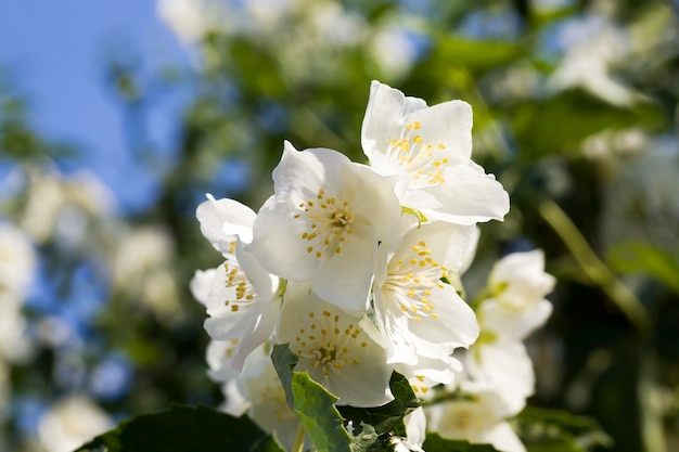美しい白いジャスミンの花