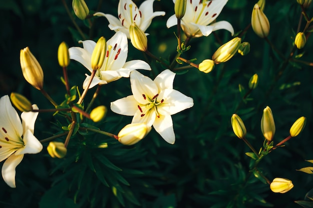 Beautiful white lily in the garden outdoors, lily blossom, spring time, nature bloom.