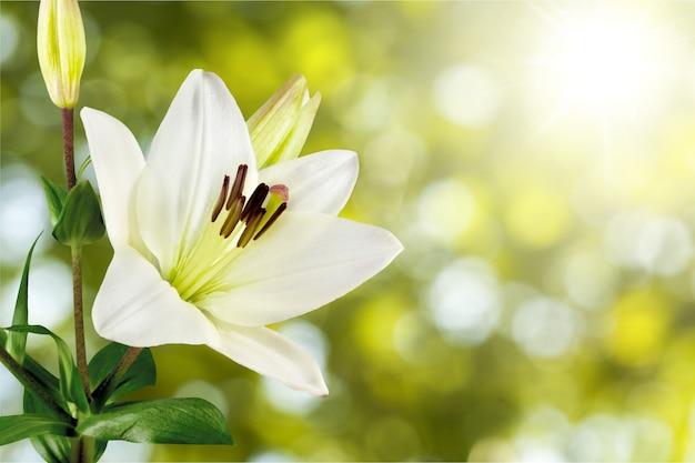 Красивая белая лилия на фоне