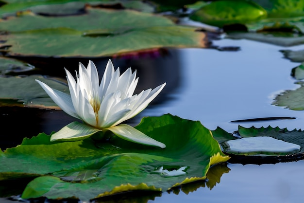 A beautiful white lotus flower in pond.
