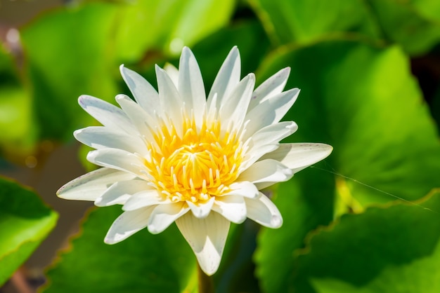 Beautiful white lotus flower with green leaf