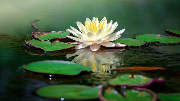 Beautiful white lotus flower with yellow stamen ,green leaf in pond