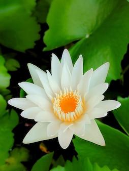 열대 정원의 아름다운 하얀 연꽃