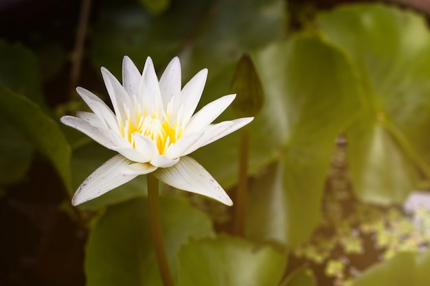 Beautiful white lotus water lily with green leaves in pond