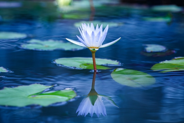 Beautiful white lotus with yellow pollen on surface of pond