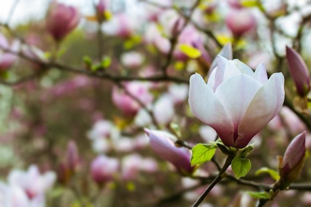봄에 피는 아름다운 하얀 목련 가지 나무