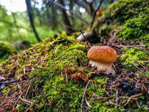 Красивый белый гриб растет в лесу на солнышке. закрыть