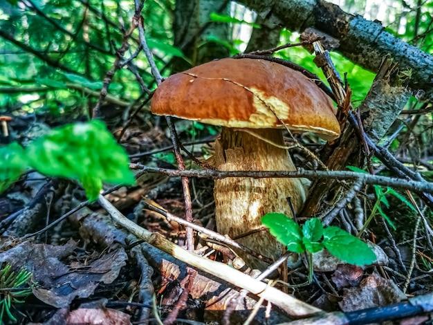 Красивый белый гриб растет в лесу на солнышке