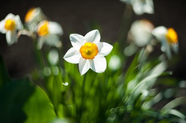 美しい白い水仙