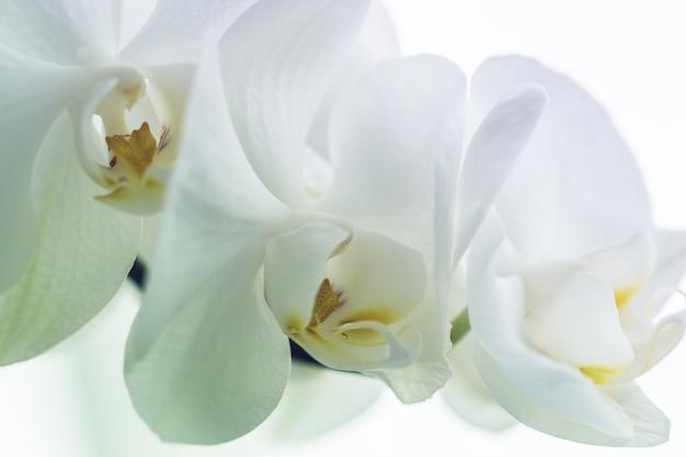 美しい白蘭、クローズアップ