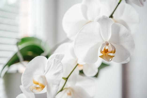 아름다운 흰 난초 꽃, 인기 있는 집 식물인 호접란을 키우고 돌보는 방법
