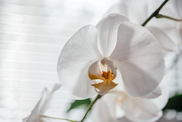 美しい白い蘭の花、ファレノプシス蘭の育て方と世話、人気の観葉植物
