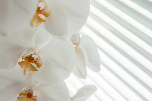 배경에 창 셔터가 있는 아름다운 흰색 난초 꽃