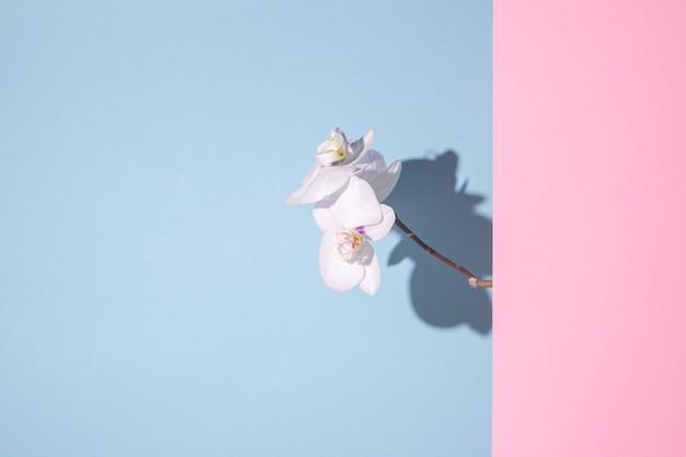 파란색 배경에 아름다운 흰색 난초
